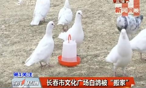 """第1报道 长春市文化广场白鸽被""""搬家"""""""