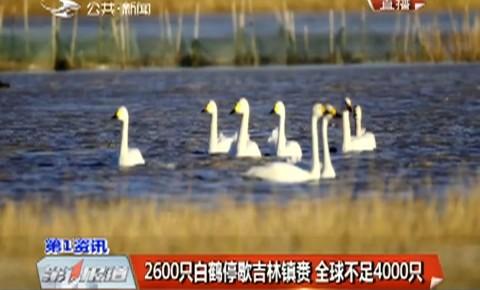第1报道|2600只白鹤停歇吉林镇赉 全球不足4000只