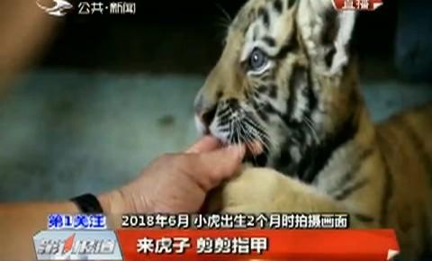 第1报道|吉林省东北虎园:人工饲养小虎满周岁 体重个头都长啦