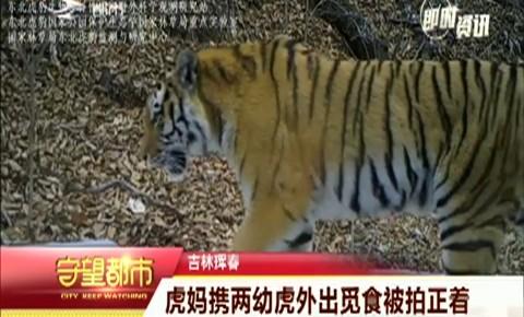 守望都市|吉林珲春:虎妈携两幼虎外出觅食被拍正着