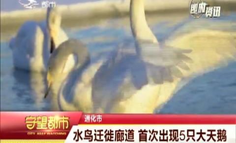 守望都市|通化市:水鸟迁徙廊道  首次出现5只大天鹅