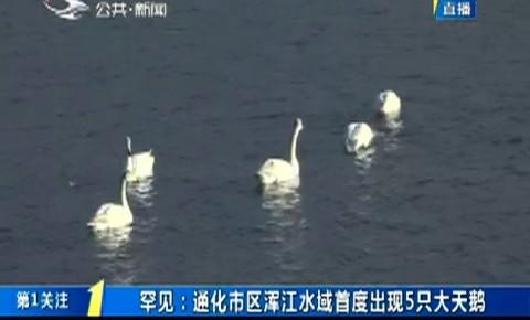 第1报道|罕见:通化市区浑江水域首度出现5只大天鹅