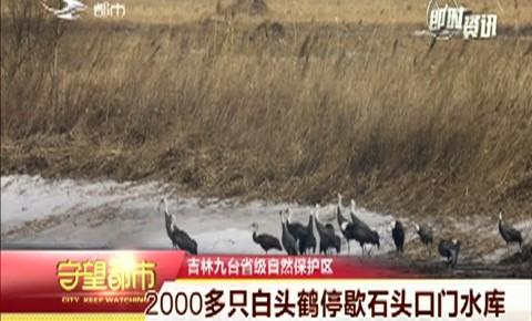 守望都市 2000多只白头鹤停歇石头口门水库