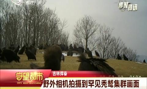 守望都市|珲春市:野外相机拍摄到罕见秃鹫集群画面
