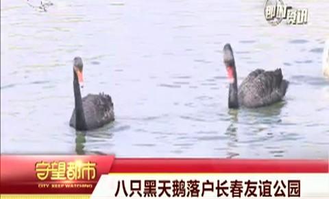 守望都市 八只黑天鹅落户长春友谊公园