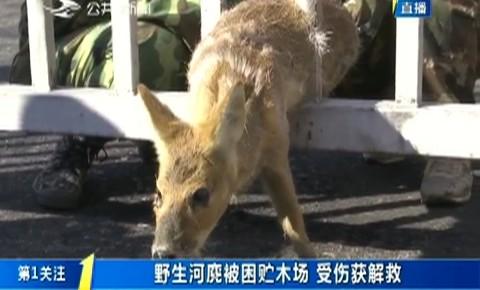 第1报道|野生河麂被困贮木场 受伤获解救