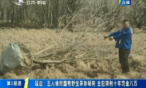 第1报道 延边:五人偷挖国有野生茶条槭树 主犯领刑十年罚金八万