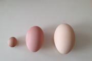 """七只母鸡有下""""鹅蛋"""" 有下 """"桂圆"""""""