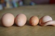 """吉林市母鸡下""""奇葩"""" 蛋"""