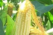玉米须是养生佳品 配石斛保健一绝