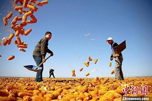 """资料图。农民挥动铁锨晾晒玉米,使得满地尽带""""黄金甲"""",成为一道靓丽的风景线。赵琳 摄"""