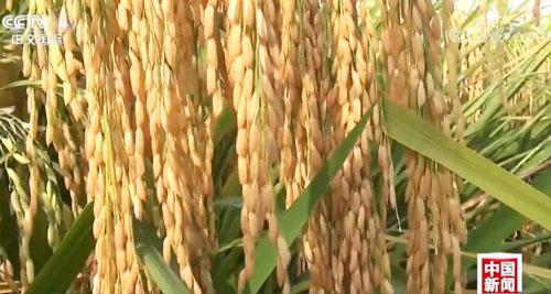 海南南繁:多胚孪生超级杂交水稻产量创新高