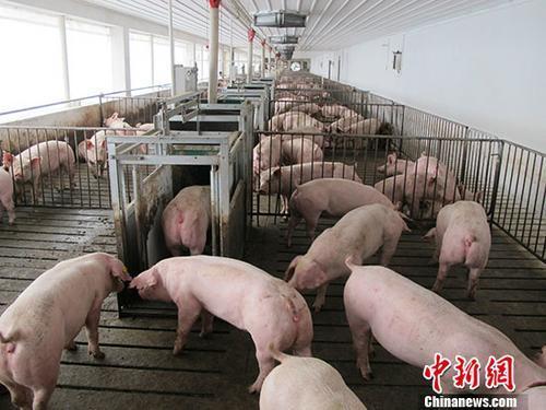 资料图:活猪养殖场。<a target='_blank' href='http://www.chinanews.com/'>中新社</a>记者 林浩 摄
