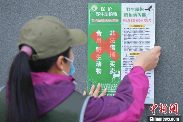 """青岛市城阳区野生动植物保护协会的志愿者来到社区、菜市场附近张贴""""禁食野味""""海报。 王海滨 摄"""