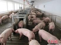 農業農村部:非洲豬瘟病毒檢測信息不得擅自公布