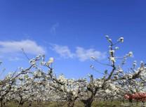 琿春市萬畝蘋果梨園梨花開