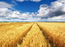 """好挂面是""""产""""出来的,也是""""种""""出来的  ——写好粮食产业经济大文章"""