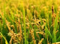 亩产超千斤!袁隆平团队大面积试种耐盐碱水稻