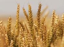 2019年全国粮食产量13277亿斤 创历史最高水平