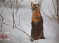 3只呆萌小紫貂现身亚博娱乐是正规的吗延边仙峰国家森林公园