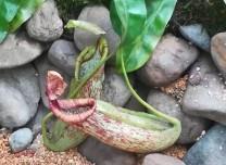 來長春農博園 看熱帶雨林才有的食蟲植物