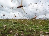 沙漠蝗會在我國大規模暴發嗎?農業農村部回應了