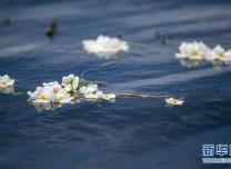 洱海又見海菜花