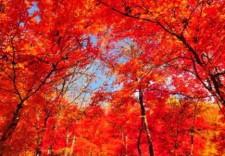 一片红叶能带来什么?一座东北小城的转型故事