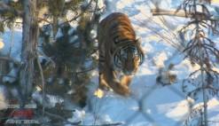 """【数说吉林70年】27只东北虎和42只东北豹 打造美丽中国的""""吉林样板"""""""