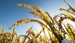 """豐收圖景背后的""""時代之變""""——來自吉林""""黃金水稻帶""""的豐收觀察"""