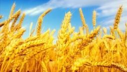 夏糧收獲進入尾聲 全國多地已做好夏糧收購資金供應和管理工作