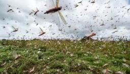 沙漠蝗会在我国大规模暴发吗?农业农村部回应了