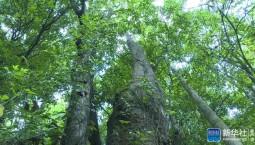 云南高黎貢山發現珍稀瀕危植物滇桐野生居群