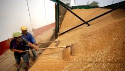 我国夏粮生产再获丰收!总产量14281万吨 比去年增0.9%