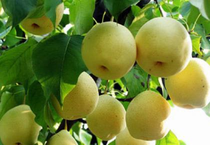 秋天吃梨正当时!今天你吃梨了吗?