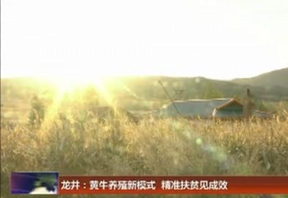 龙井:黄牛养殖新模式  精准扶贫见成效