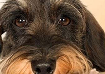 长春网友爱犬吃完洋葱炒肉后中毒 医生:狗吃洋葱会导致溶血性贫血