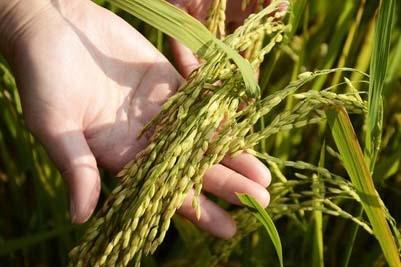 亩产620公斤!我国海水稻研究取得重大突破