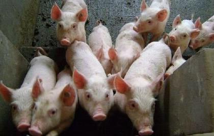 www.yabet19.net省生猪收购价格小幅下降