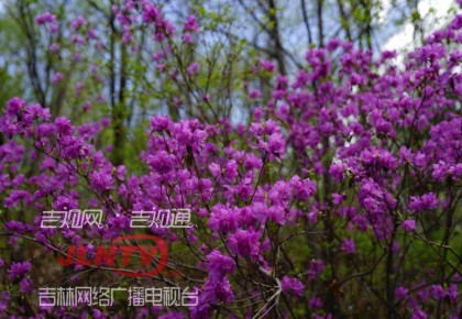 【关注】吉林龙湾野生杜鹃花卉旅游节启幕