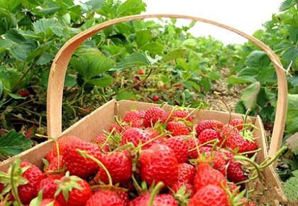"""小草莓""""摘""""出4亿元大产业"""