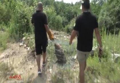 【视频】珲春:国家二级野生保护动物被及时救治并放生
