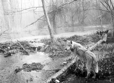 核污染30年来一只狼首次离开切尔诺贝利,科学家紧密跟踪