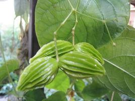 新发现!这两种植物含天然甜味分子,甜度远超蔗糖!