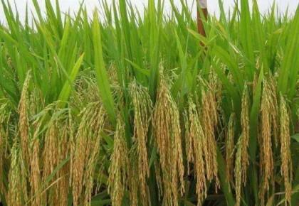水稻、玉米、小麦三大粮食作物制种纳入中央财政农业保险保险费补贴目录