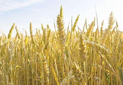 小麦基因密码被破译 小麦基因组图谱历经13年绘制完成