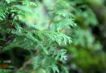 吉林省发现大面积珍稀濒危保护植物——野生长白侧柏