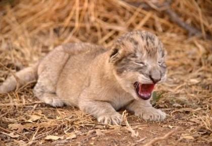 动物保护有重大突破!世界首例试管狮子在南非诞生