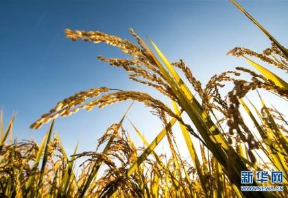 """丰收图景背后的""""时代之变""""——来自吉林""""黄金水稻带""""的丰收观察"""