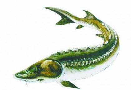 长江鲟鱼濒危:科学家尝试人工干预